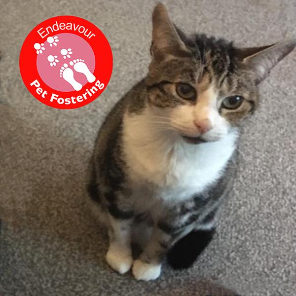 Endeavour_Pet_Fostering_Cat
